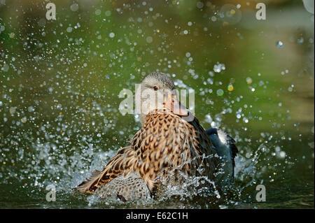 Mallard or Wild Duck (Anas platyrhynchos), female bathing, North Rhine-Westphalia, Germany - Stock Photo