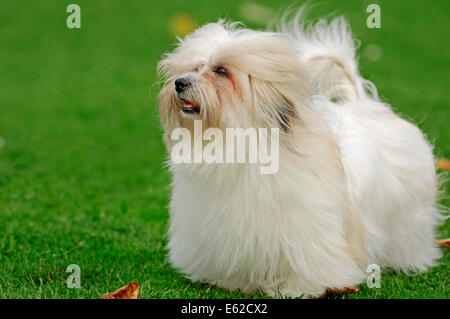 Coton de Tulear (Canis lupus familiaris) - Stock Photo