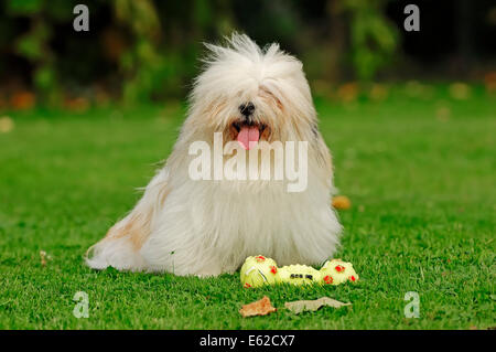 Coton de Tulear (Canis lupus familiaris) with toy - Stock Photo
