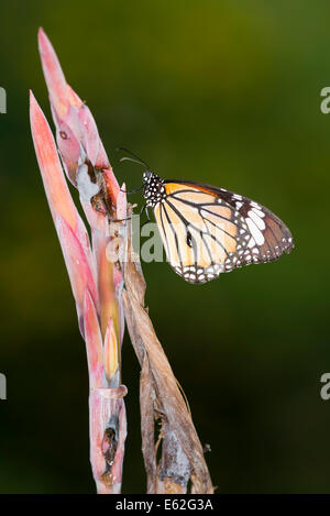 A Monarch butterfly at rest - Stock Photo