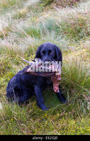 Rough shooting on Coverdale moors, Yorkshire Dales,  Gundog holding shot grouse in mouth during Grouse Shooting - Stock Photo