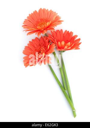 Orange gerbera flowers. Isolated on white background - Stock Photo