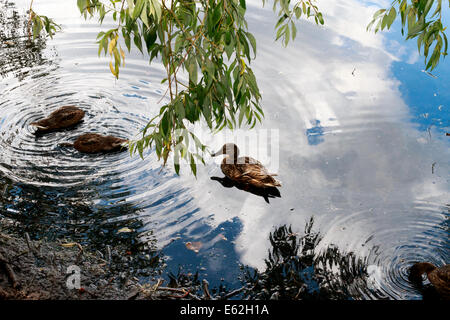ducks in lake with reflection of blue sky,  weeping willow tree behind, summer landscape - Stock Photo