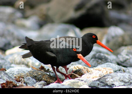 Sooty Oystercatcher pair on the Tollgate Islands near Bateman's Bay, New South Wales - Stock Photo