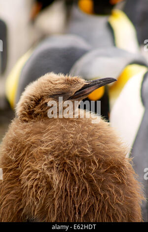A King Penguin Chick sleeps on Sandy Bay, Macquarie Island - Stock Photo