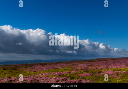 Heather in its pink bloom against a beautiful sky, Ilkley Moor, Yorkshire, UK - Stock Photo