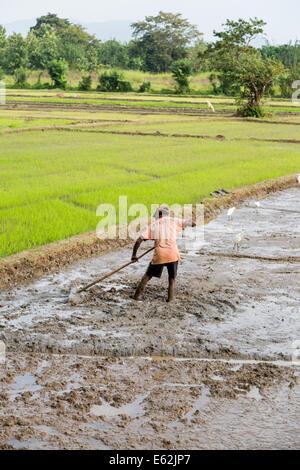 DAMBULLA, SRI LANKA - JANUARY 27, 2014: Unidentified man working in the rice field in Dambulla. Sri Lanka producing - Stock Photo