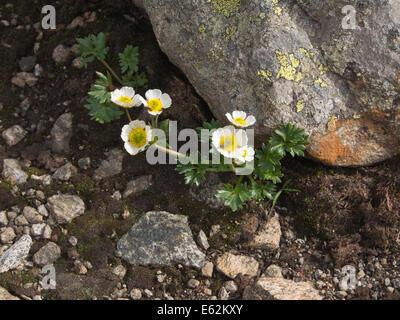 Ranunculus glacialis,  glacier crowfoot or glacier buttercup, in the Jotunheimen national park, Norway - Stock Photo