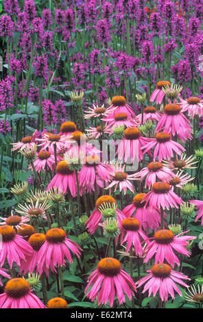 Purple Cone Flower (Echinacea purpurea Kim's Knee High) and Bishop's Wort (Stachys officinalis Hummelo). Perennials, - Stock Photo