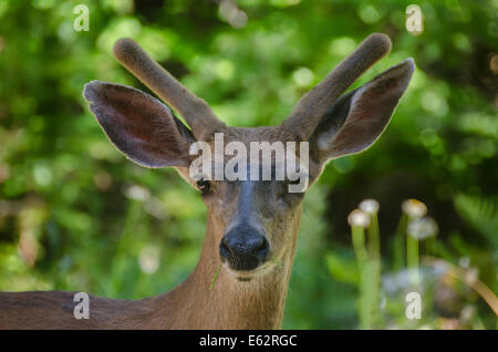 A young Mule Deer (Odocoileus hemionus) buck foraging in the Sierra foothills of Northern California, antlers in - Stock Photo