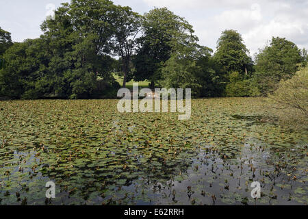 Graves Park Boating Lake in Norton, Sheffield, covered in lilies - Stock Photo