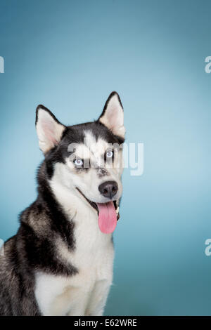 Siberian husky looking at camera smiling with tongue out - Stock Photo