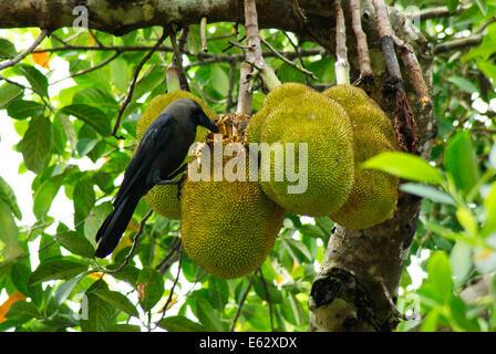 Crow bird eating jackfruit on jack fruit Tree Kerala India - Stock Photo