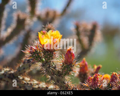Close up view of yellow flowers and buds on a Buckhorn Cholla cactus in the Arizona Sonoran desert with copy space - Stock Photo