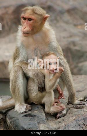 Monkey Baby and Mother wildlife India Rhesus macaque monkeys - Stock Photo