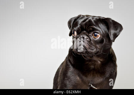 Black pug looking suspiciously out of corner of eyes - Stock Photo