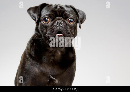 Studio portrait of black pug dog - Stock Photo