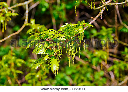 new spring growth of pedunculate english oak quercus robur with flowers - Stock Photo