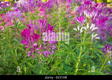 Beautiful pink and white cleome flowers in the garden. Also known as spider flower or stinking clover. Cleome hassleriana - Stock Photo