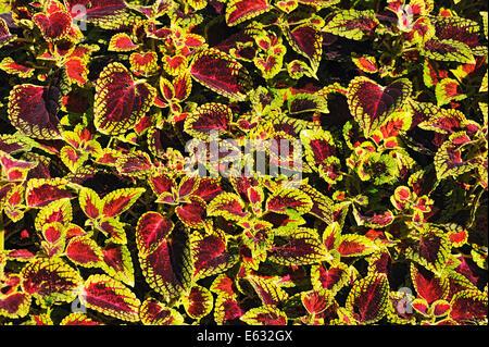 Painted Nettle (Solenostemon scutellarioides), Bavaria, Germany - Stock Photo