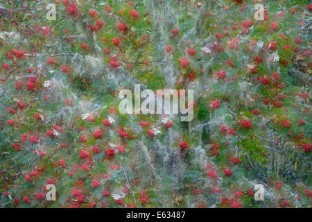 European Rowan ( Sorbus aucuparia ) tree with red berries during autumn in French alps with a double exposure in - Stock Photo