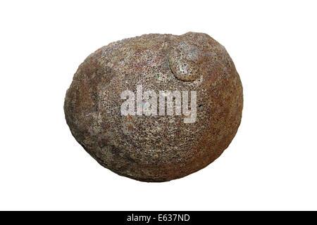 Roundback Abalone Haliotis cyclobates (Haliotis excavata) Attacked By Shell Boring Organism - The Boring Sponge - Stock Photo
