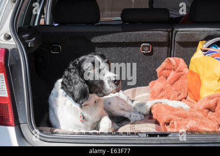 A black and white adult English Springer Spaniel dog patiently waiting in a hatchback car boot with tailgate door - Stock Photo