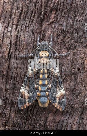 Death's Head Hawkmoth (Acherontia atropos) aka Death Head Sphinx Moth perched on tree showing skull marking. - Stock Photo