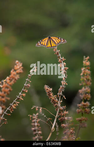 A monarch butterflies (Danaus plexippus) perched on a dead plant at the Monarch Butterfly Sanctuary in Mexico.