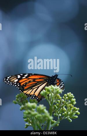 A single monarch butterfly (Danaus plexippus) at the Monarch Butterfly Sanctuary El Rosario in Michoacan, Mexico.
