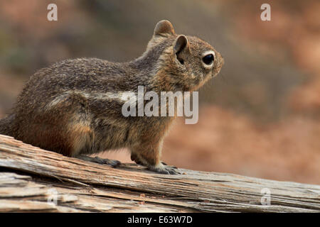 Golden-mantled ground squirrel (Callospermophilus lateralis), Bryce Canyon National Park, Utah, USA - Stock Photo