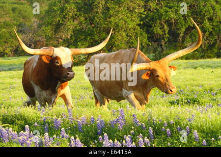 A Texas Longhorn bull courting a longhorn cow among bluebonnets in Spring. - Stock Photo