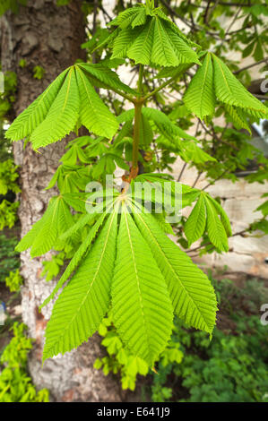 Horse-chestnut (Aesculus hippocastanum), young leaves, Bavaria, Germany - Stock Photo