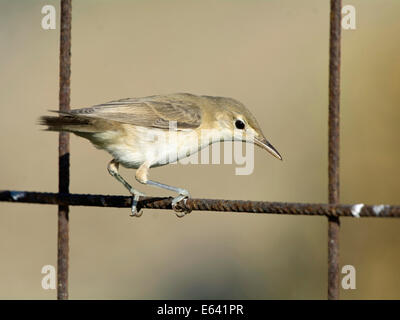 Olive-tree Warbler (Hippolais olivetorum) perched on a wire fence. Greece - Stock Photo