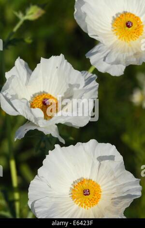 White poppy flower, Texas, USA Stock Photo: 47534537 - Alamy