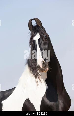 Marwari Horse. Portrait of a piebald stallion. India - Stock Photo