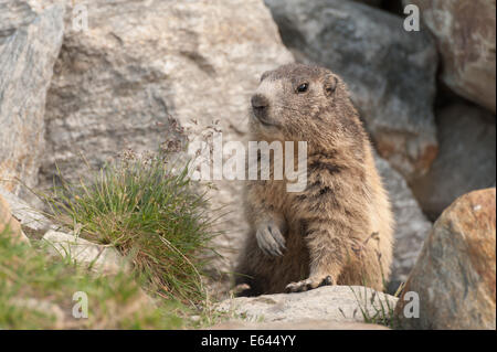 Marmot in its lair near the Swiss Alpine village of Saas-Fee - Stock Photo
