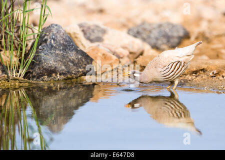 sand partridge (Ammoperdix heyi) is a gamebird in the pheasant family Phasianidae of the order Galliformes, gallinaceous - Stock Photo