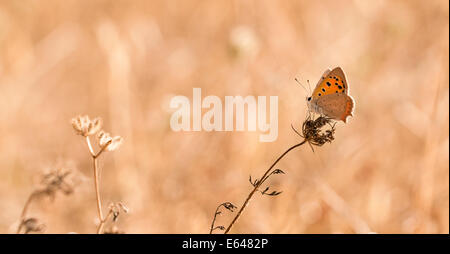 The Small Copper, American Copper or the Common Copper, (Lycaena phlaeas timeus) Butterfly shot in Israel, Summer - Stock Photo