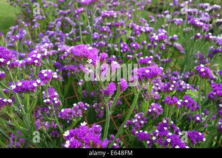 Limonium sinuatum commonly known as wavyleaf sea-lavender Uk - Stock Photo