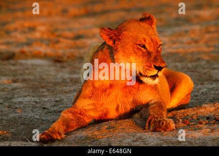 Lion pride resting & cleaning up around a waterhole after a successful nights hunting, in a beautiful golden glow - Stock Photo