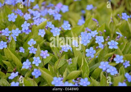 forget-me-not flowers, Myosotis arvensis - Stock Photo