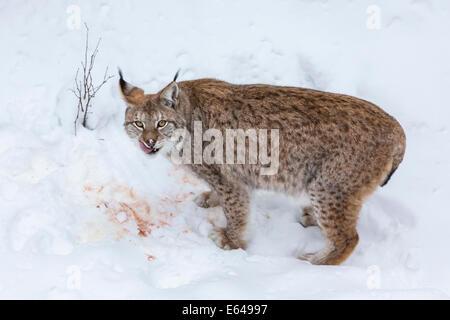 European Lynx (Felis lynx) eating prey in the snow, Finland - Stock Photo