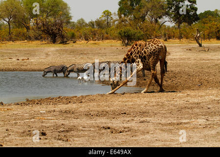 Waterhole safari scene wild animals & birds drink together, wildlife in Africa, zebra & giraffe spoonbills & black - Stock Photo