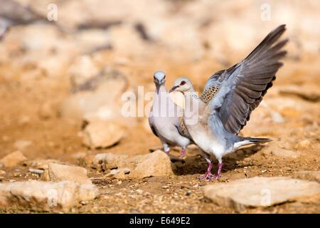 Turtle Dove (Streptopelia turtur) walking in the desert, negev, Israel - Stock Photo