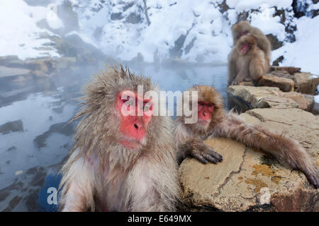 Japanese macaque (Macaca fuscata)/ Snow monkey, Joshin-etsu National Park, Honshu, Japan - Stock Photo