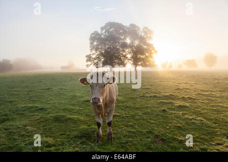 Cow in field, sunrise, Usk Valley, South Wales, UK - Stock Photo