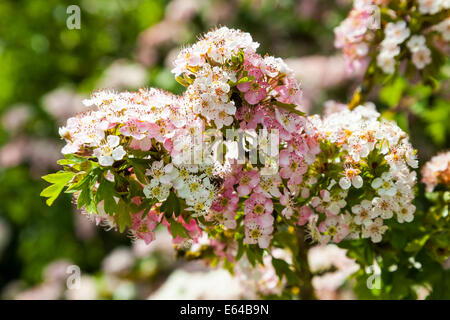 Crataegus commonly called hawthorn or May Blossom flowers, some pink and some white - Stock Photo