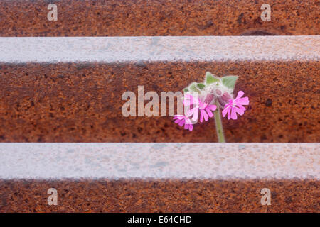 Red Campion growing through cattle grid Silene dioica Unst, Shetland, UK PL002180 - Stock Photo