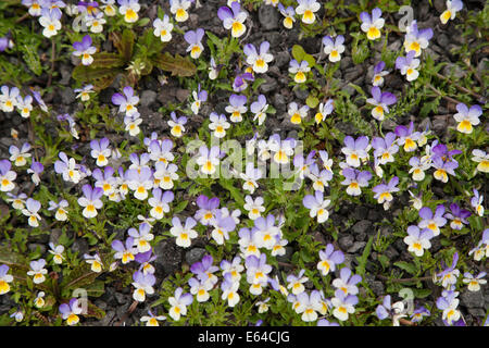 Wild Pansy Viola tricolor Iceland PL002233 - Stock Photo